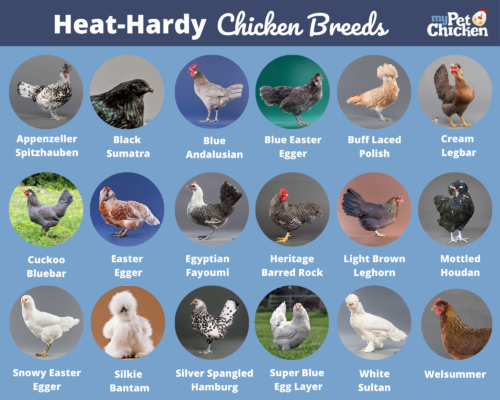 Photos of the best chickens for hot weather.