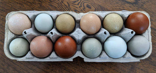The best chickens for hot weather also lay green, blue, and brown eggs. Eggs are arranged in a pulp egg carton.