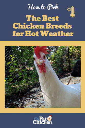 Photo of a White Leghorn looking at the camera.