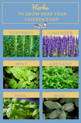 Photos of beneficial herbs to grow for your chicken flock including: rosemary, lavender, mint, oregano, basil, and sage.