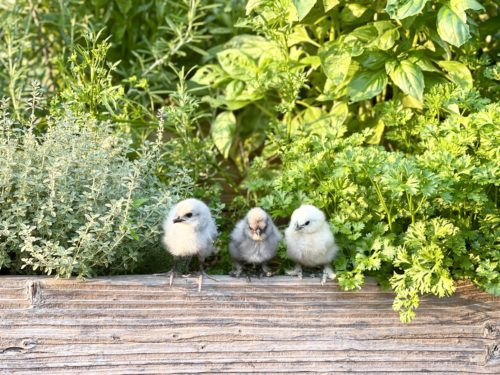 Three chicks perching on the edge of an herb harden bed.